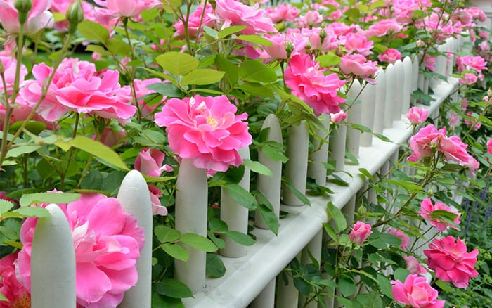 How To Plant A New Rose Bush In The Garden David Domoney