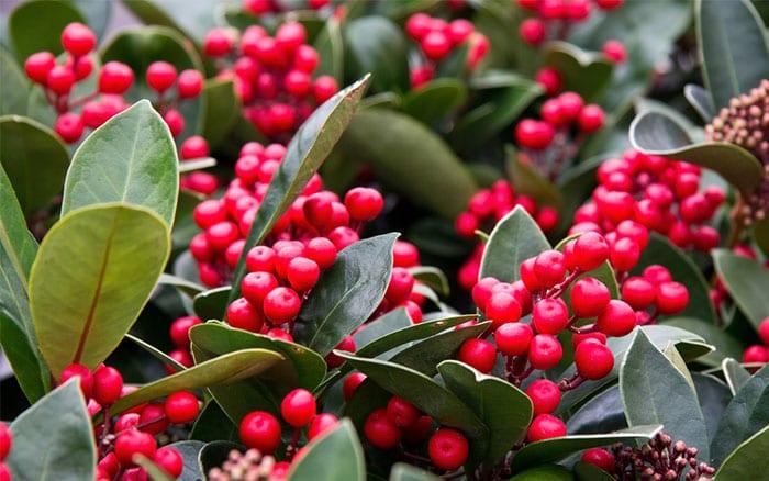 skimmia-berries-best-winter-plants