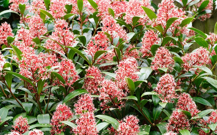 Skimmia Onica Rubella Best Plants For Winter Flowering These Are Evergreen Shrubs