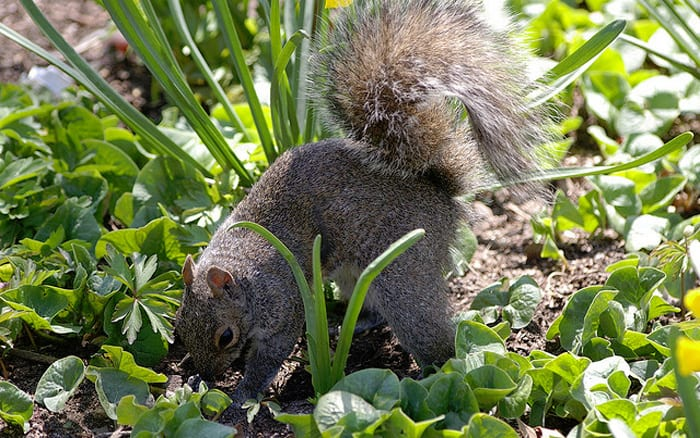 How do I stop squirrels digging up spring bulbs in my garden?