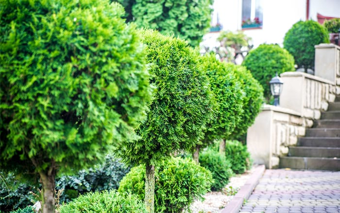 topiary-trees create garden structure with their evergreen foliage and striking shape. Use lollipop trees for repetition and height