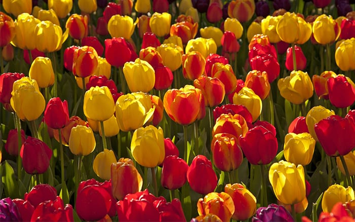 tulips view david domoney's guide to seeds and bulbs