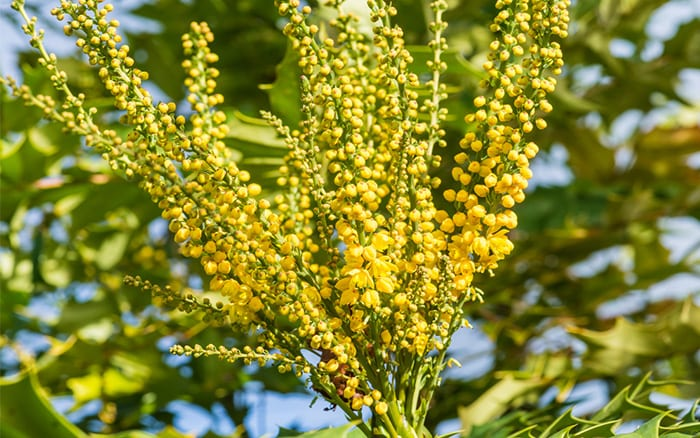 mahonia a winter flowering plant with yellow flowers