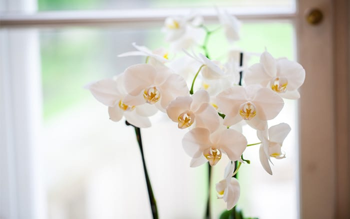 orchid how to keep orchids humid indoors - keep them in the bathroom
