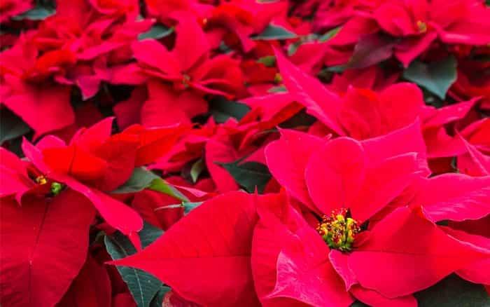 Poinsettia Christmas Plants Flowers Houseplants How To Care