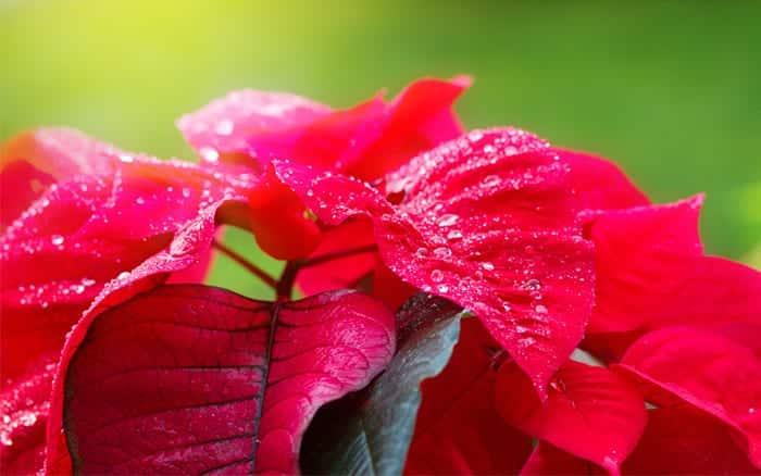 poinsettia christmas houseplant how to care for poinsettia