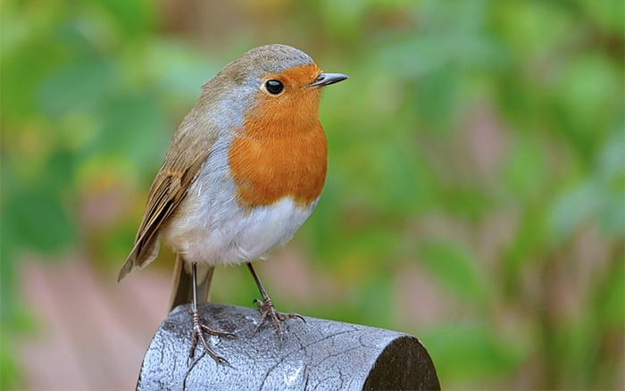 feed robins and other winter birds with fat cakes