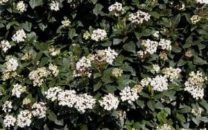 viburnum-tinus flowers in winter december