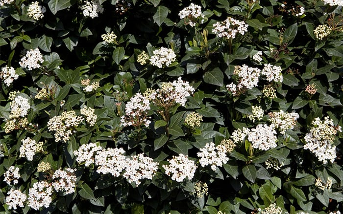 The 21 best plants and flowers for winter garden colour for White flowering bush