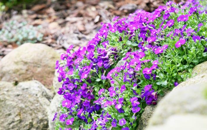 Aubrieta Cultorum Alpine Plants For Pockets In Stone Walls What To Plant Trailing Purple Flowers