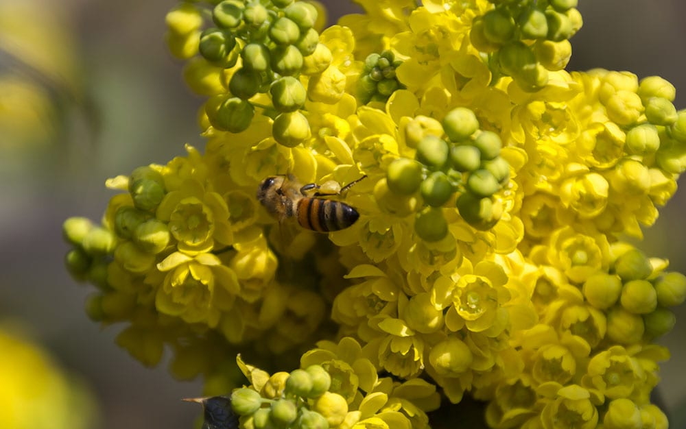 pollinators with mahonia