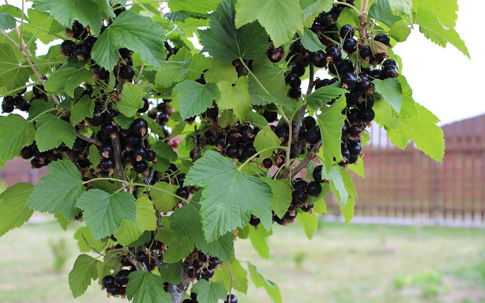 blackurrant fruit plants
