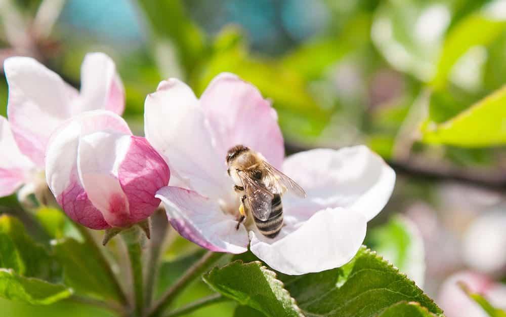 blossom bee pollinators