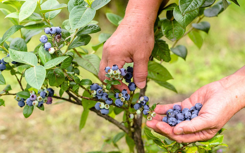 blueberry fruit plant
