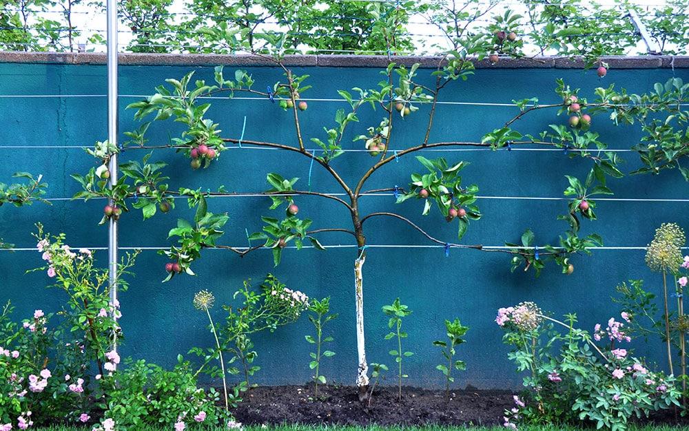 fan trained apple tree