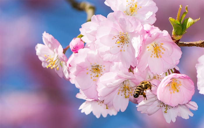 fruit-tree-blossom-attracts-pollinators