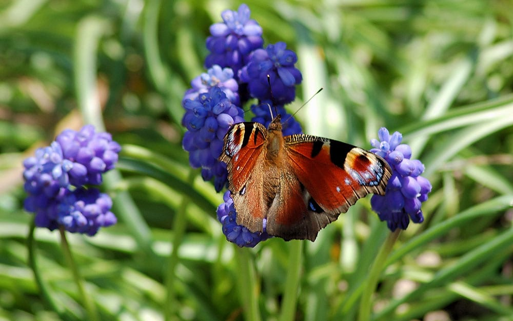 grape hyacinth butterfly