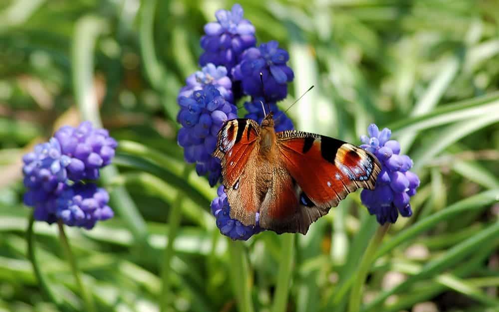 grape hyacinth butterfly