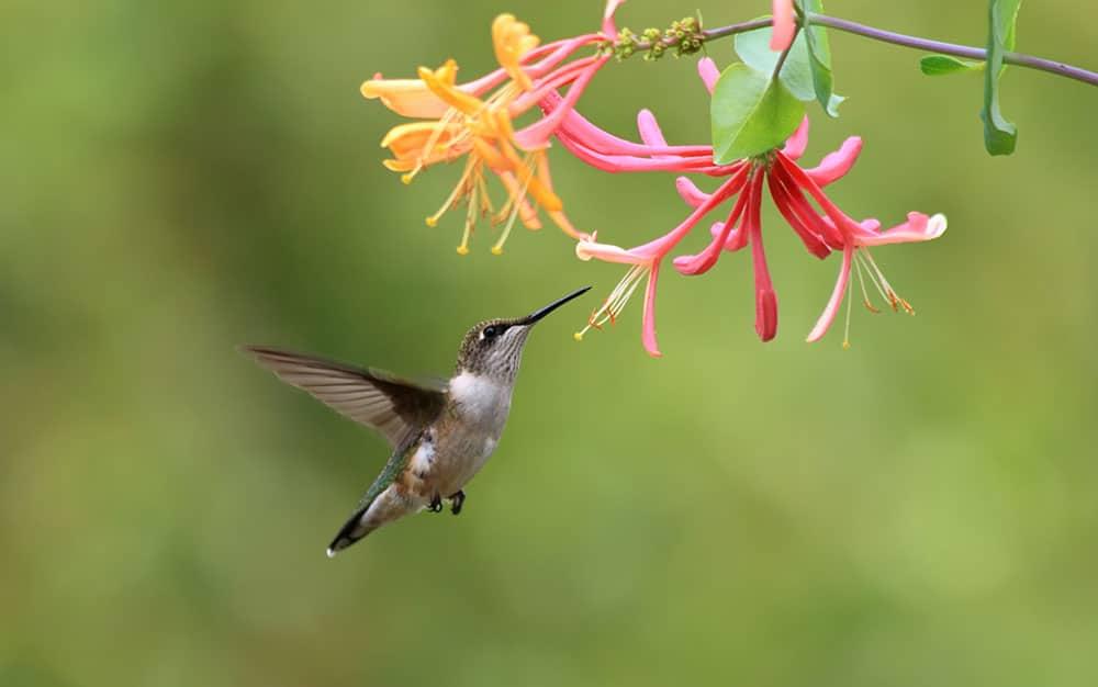 honeysuckle-bird