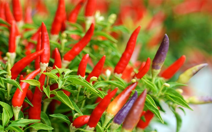 how-to-grow-chillies