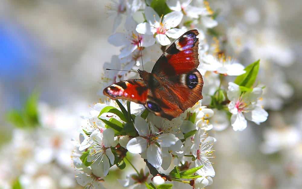 peacock butterfly on blossom