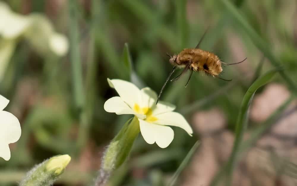 primrose bee