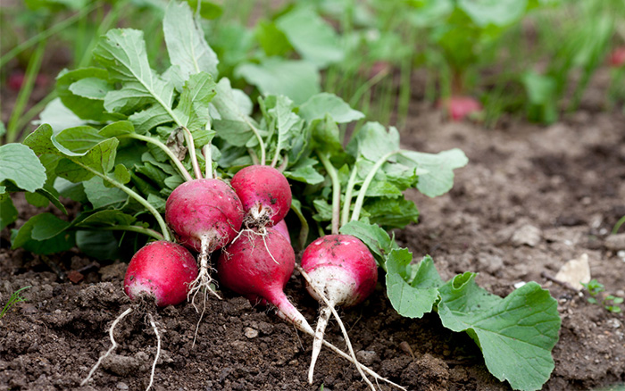 how to grow radishes in pots