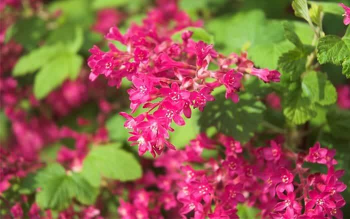 ribes-sanguineum-flowering-currant