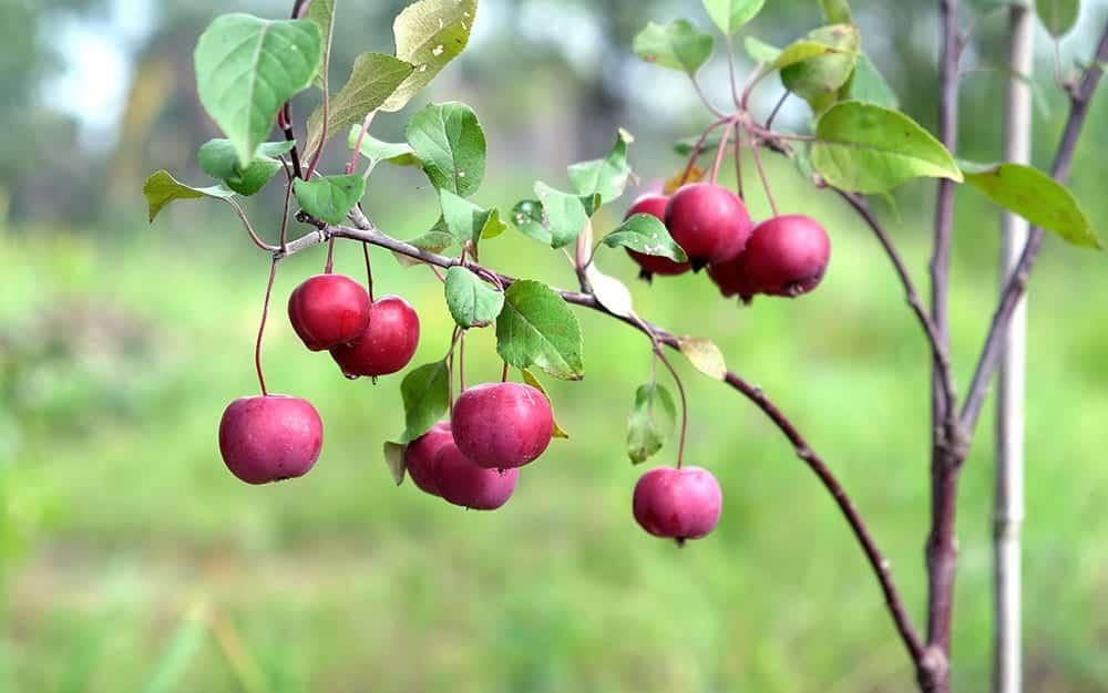 apple fruit plant