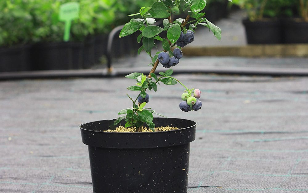 small-blueberry-pot