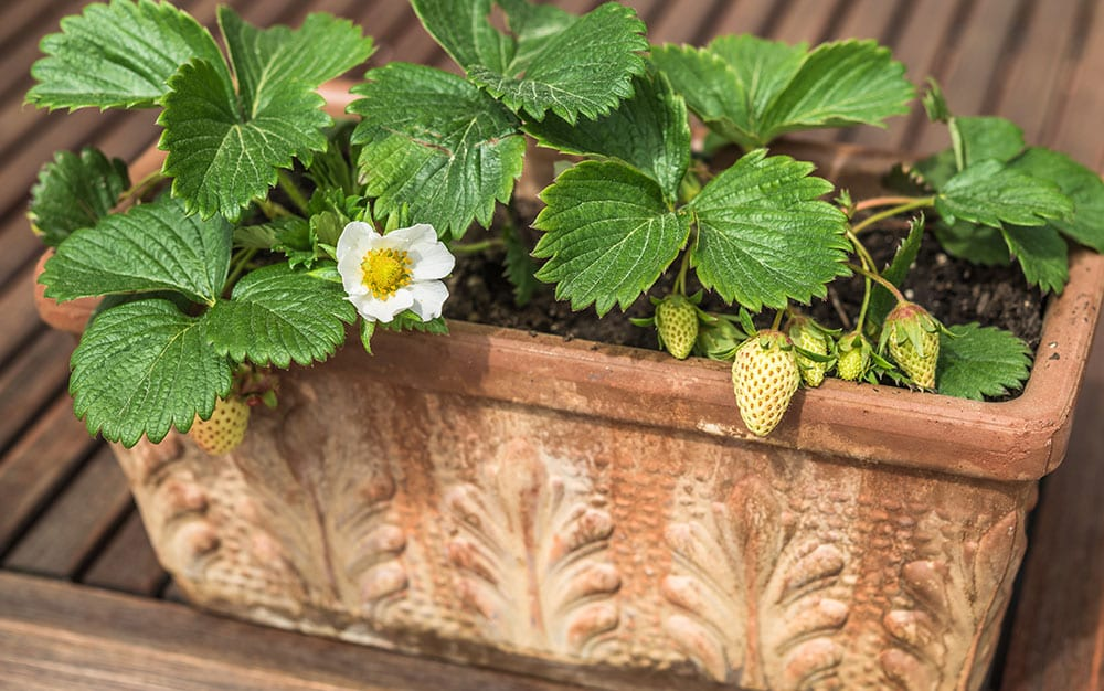 small-strawberry-plant-container