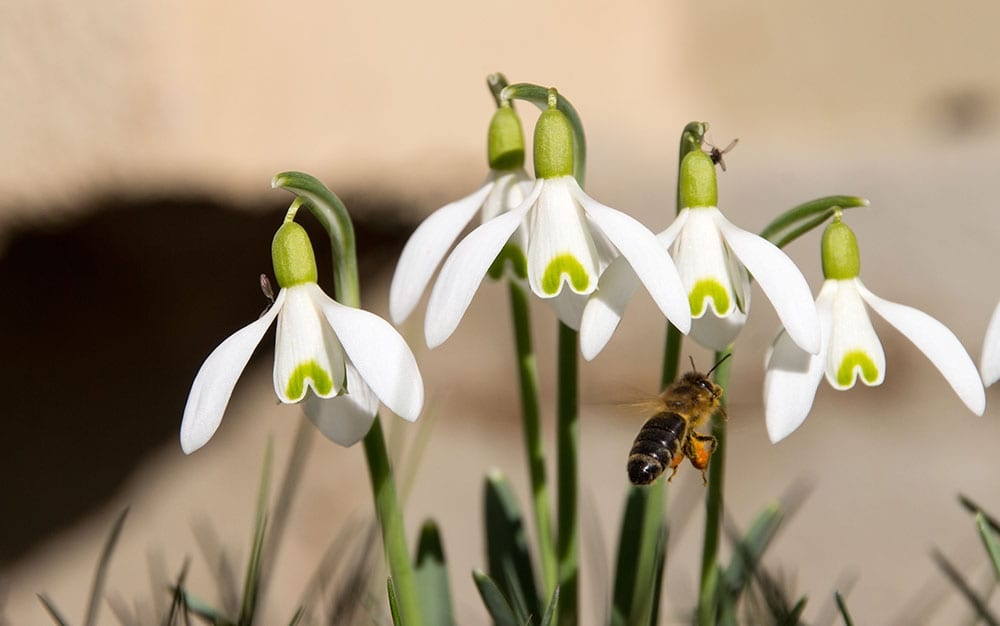 snowdrop pollinating insect