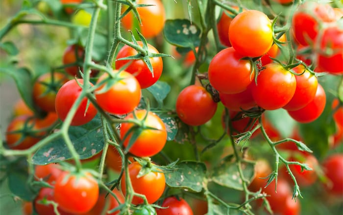 how to grow tomatoes-on-plant-vine-crop