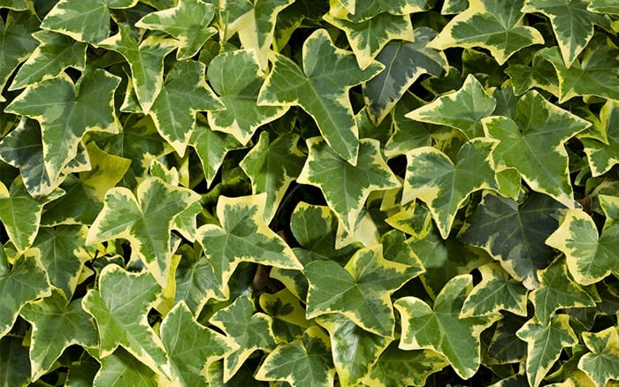 variegated-ivy can't kill indoor plants