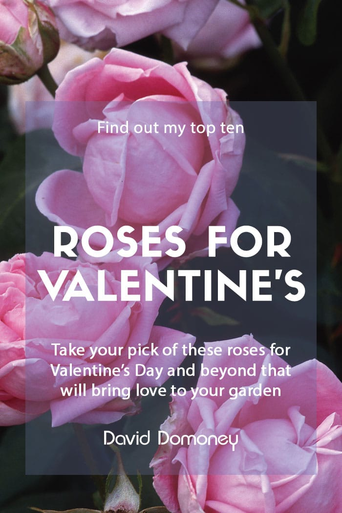 Top ten roses for Valentine's Day and beyond