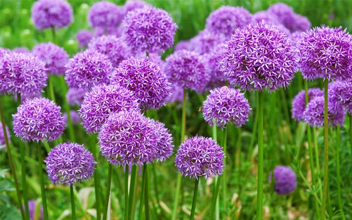 Its tiny purple flowers grow in spears held high on strong stems