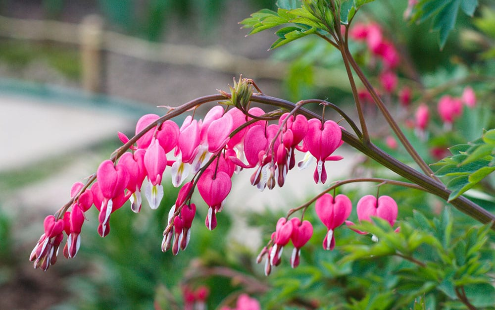 bleeding-heart-branch