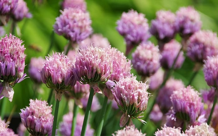 chive-herb-flowers