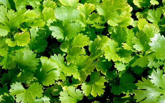 tips on growing coriander-herb-leaves