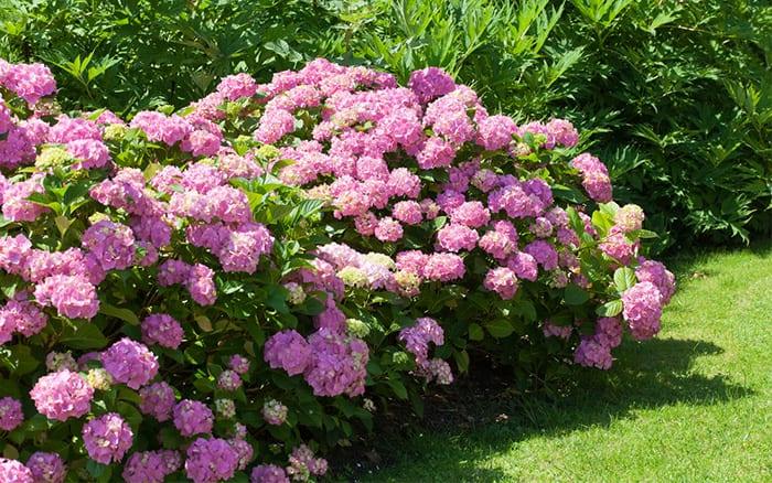 Hydrangea bush - what are perennial plants defintion of perennials