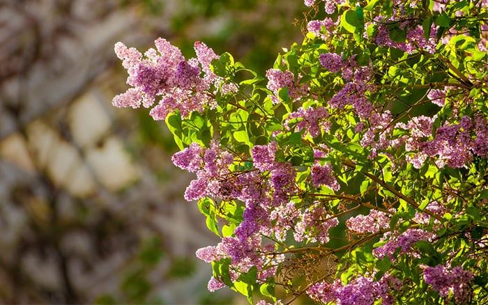 lilac-tree-flower