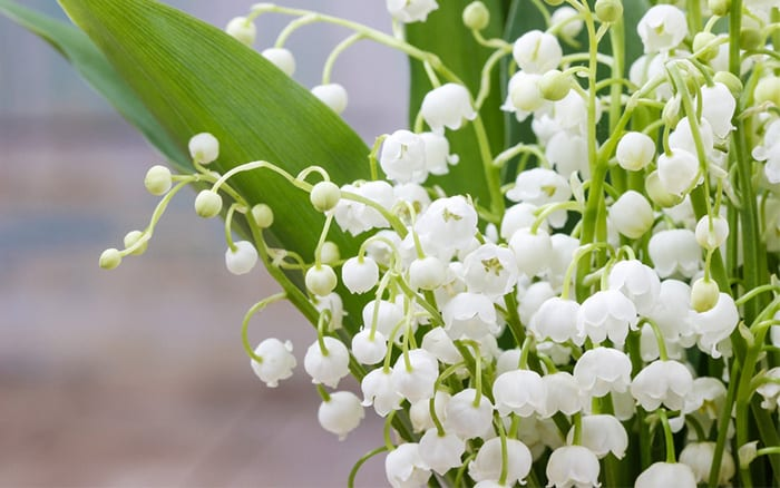 lily-of-the-valley-white-flowers