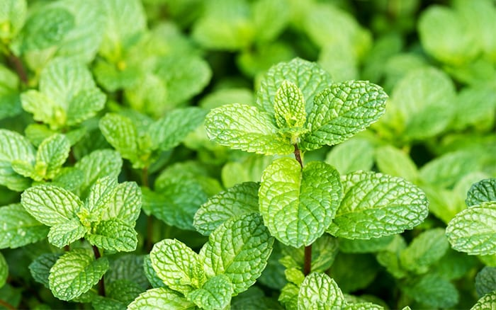 mint how to grow mint-plant-leaves