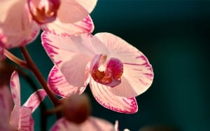 orchid-white-with-pink-petals easy romantic houseplants