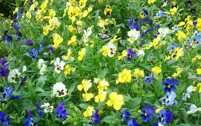 Pansies spring flowering plants