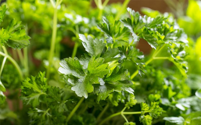 parsley-herb how to grow