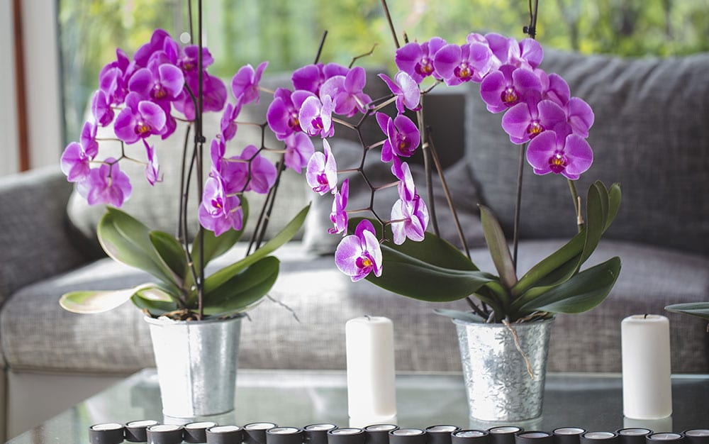 orchids for valentine's