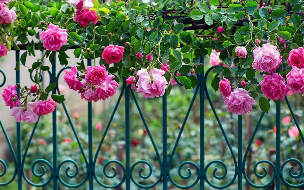 pink valentines roses