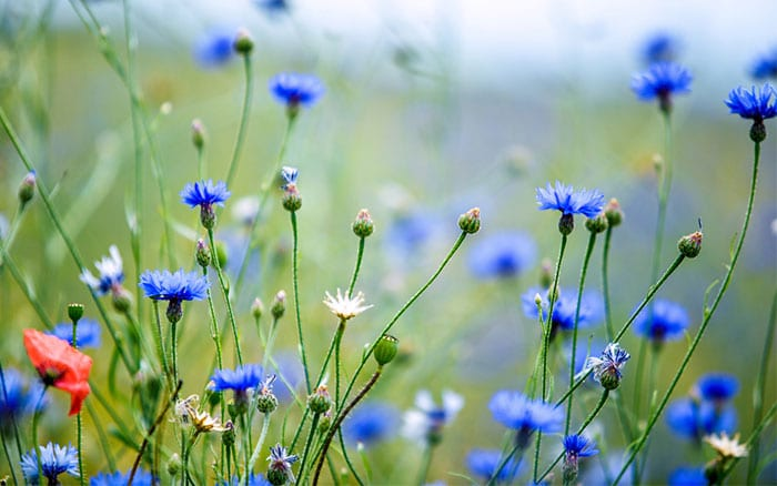 Cornflower meadow - how to grow a wildflower patch
