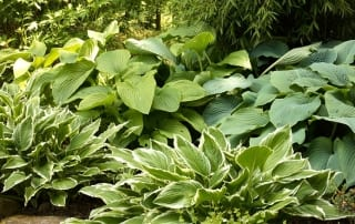 hosta-shade-garden